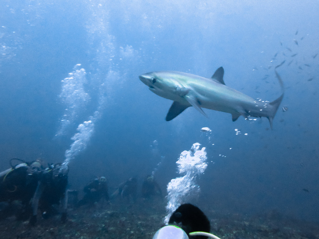 Thresher Shark 6 Many Divers Are Lined Down On The