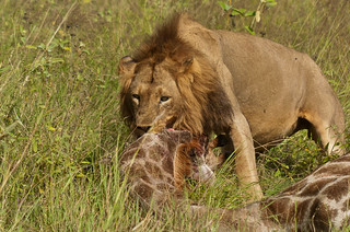 Young lion male and female giraffe kill | by Pim Stouten