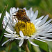 Dung flies mating on a daisy