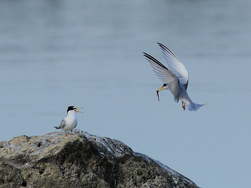 Least Tern courtship 20120419 | by Kenneth Cole Schneider