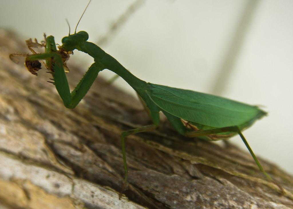 Praying Mantis eats supper (185/365) | Preying Mantis with ...