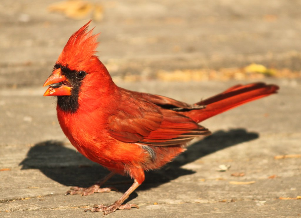 Do You Have A Nice Hairdo? Mr. Northern Cardinal Does. And