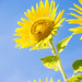 Sunflower in Zama 1