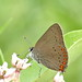Porte-queue abrogé / Coral Hairstreak