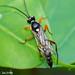Vespa // Ichneumon Wasp (Virgichneumon digrammus), male