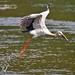 Asian Openbill-Stork