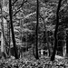 b/w Tree study 1