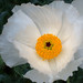 White prickly-poppy
