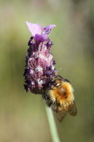 Bee on Lavender | by Nikki-ann