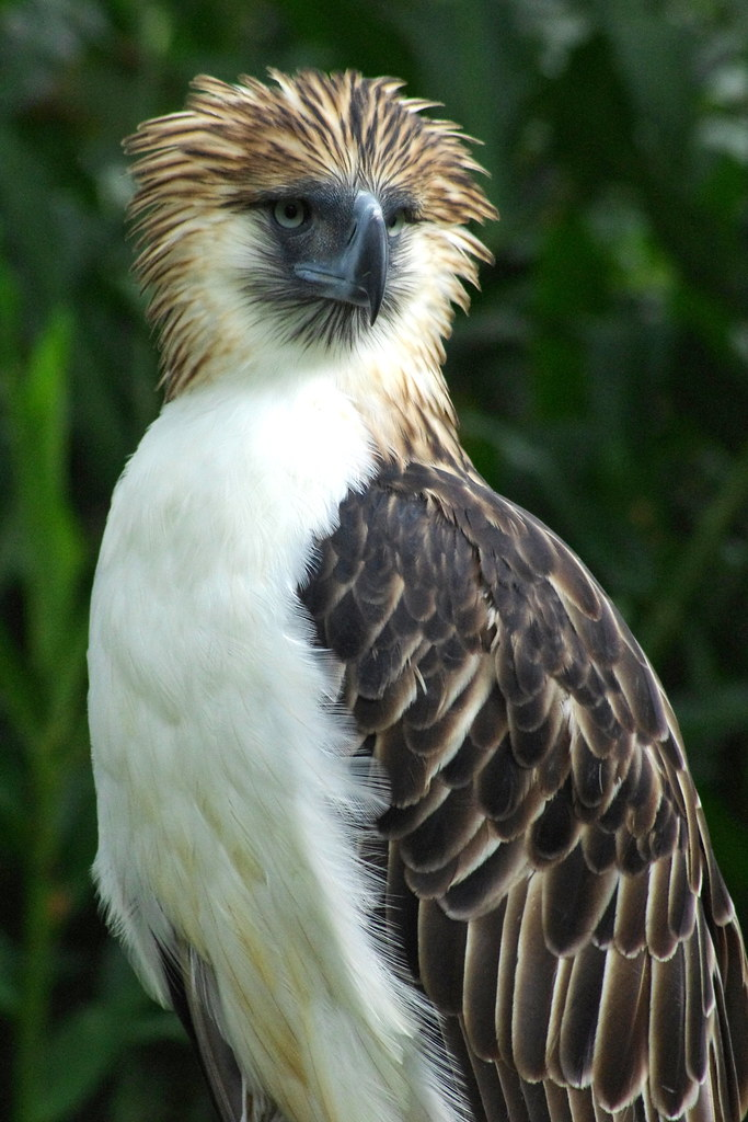Philippine Eagle Philippine eagle