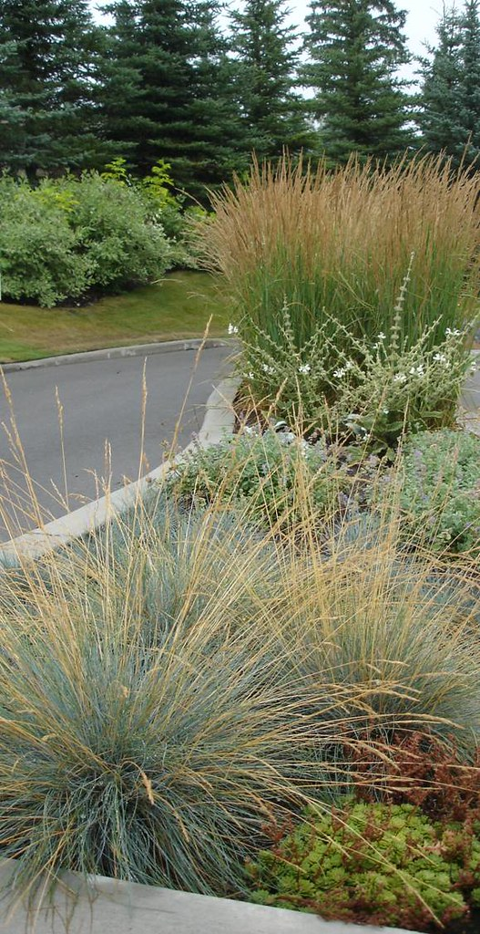 Ornamental grasses blue fescue and calamagrostis flickr for Best tall grasses for privacy