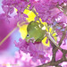 Série com o Tuim-de-Asa-Amarela, Periquito, Maritaca (Brotogeris chiriri chiriri) no Ipê-Roxo Bola (Tabebuia impetiginosa) -  Series with the Yellow-chevroned Parakeet (Brotogeris chiriri chiriri) at the Pau D'Arco Bark - 07-06-2012 - IMG_9881