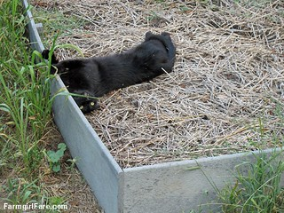 (22-14) Mr. Midnight rolling around in a raised bed - at least there's nothing planted in it - FarmgirlFare.com | by Farmgirl Susan