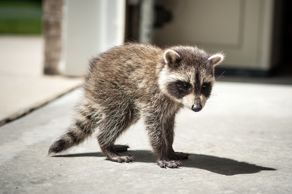 free hq baby raccoon - photo #18