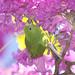 Série com o Tuim-de-Asa-Amarela, Periquito, Maritaca (Brotogeris chiriri chiriri) no Ipê-Roxo Bola (Tabebuia impetiginosa) -  Series with the Yellow-chevroned Parakeet (Brotogeris chiriri chiriri) at the Pau D'Arco Bark - 07-06-2012 - IMG_9878