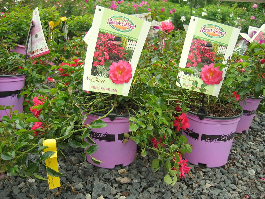 Flower carpet roses the rose in the pink pot flower c flickr dhlflorist Image collections