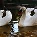 Kur yapan kuğular :)