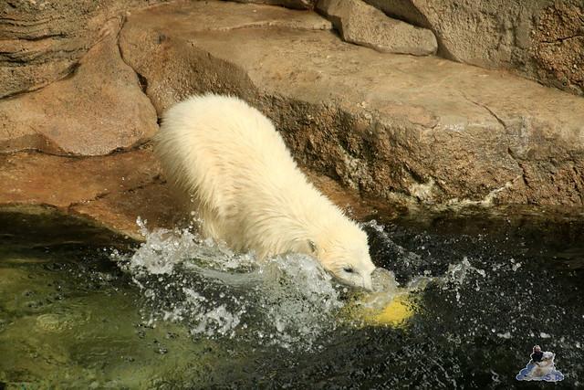 Eisbär Lili im Zoo am Meer 15.05.2016  12