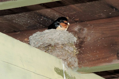 Barn Swallow #88
