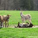 Let's roll donkeys 1