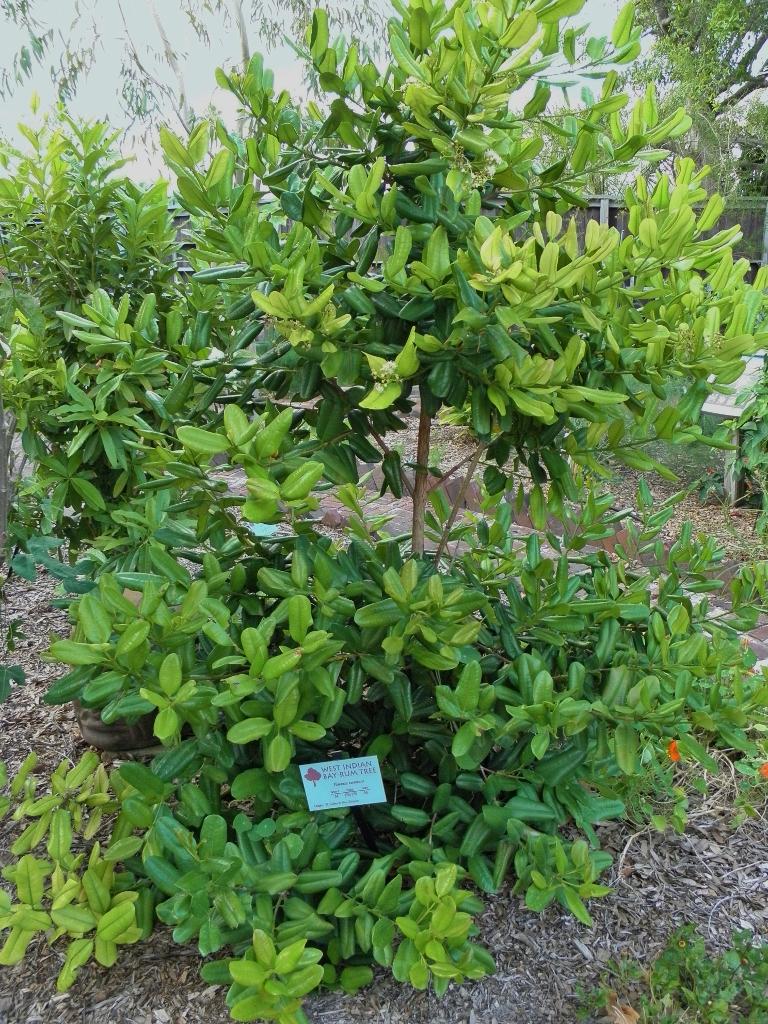 Pimenta racemosa jason sharp florida botanical gardens l flickr for Florida botanical gardens largo