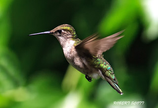 Adult Female Ruby-throated Hummingbird .  #8 | by Robert Scott Photographyy