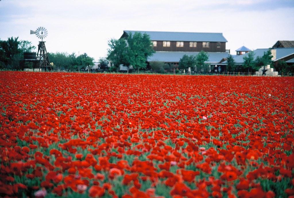 Red corn poppy wildseedfarms flickr for Flower hill farms
