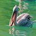 Pelican with fish in the beak