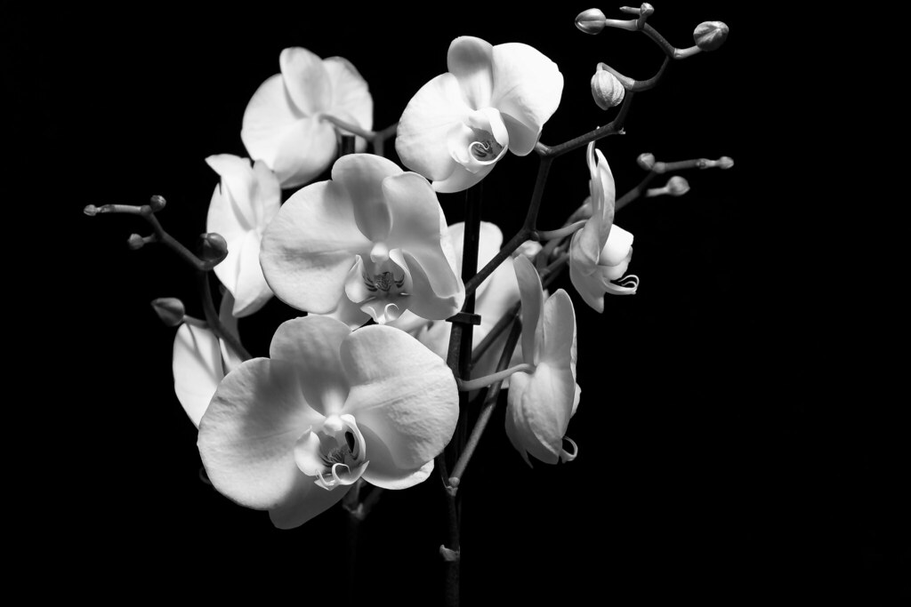 Black & White Orchid | Twitter | Facebook | Allan ...