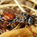 Vespa // Sand Wasp (Tachytes or Tachysphex)