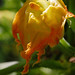 male-squash-flower-2