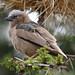 Grey-capped Social Weaver 111116 Pseudonigrita arnaudi