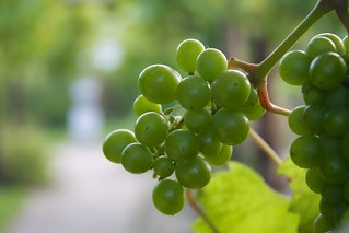 Fishbourne Grapes | by Adam Tinworth