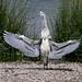 Heron flashing Ken Mee July 2012 (1)