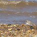 Young Ringed Plover