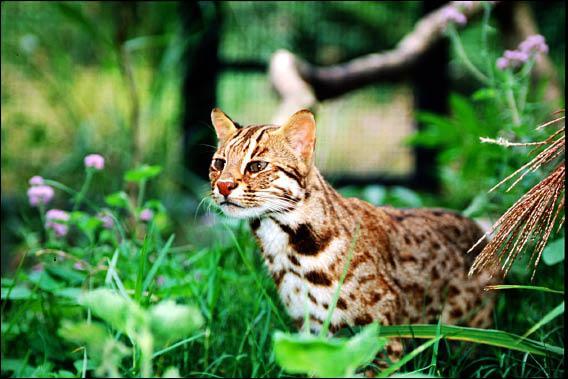 石虎是台灣僅剩的貓科動物,雲豹雖然也是,但一般認為已從台灣島上消失。(田秋堇立委辦公室提供)