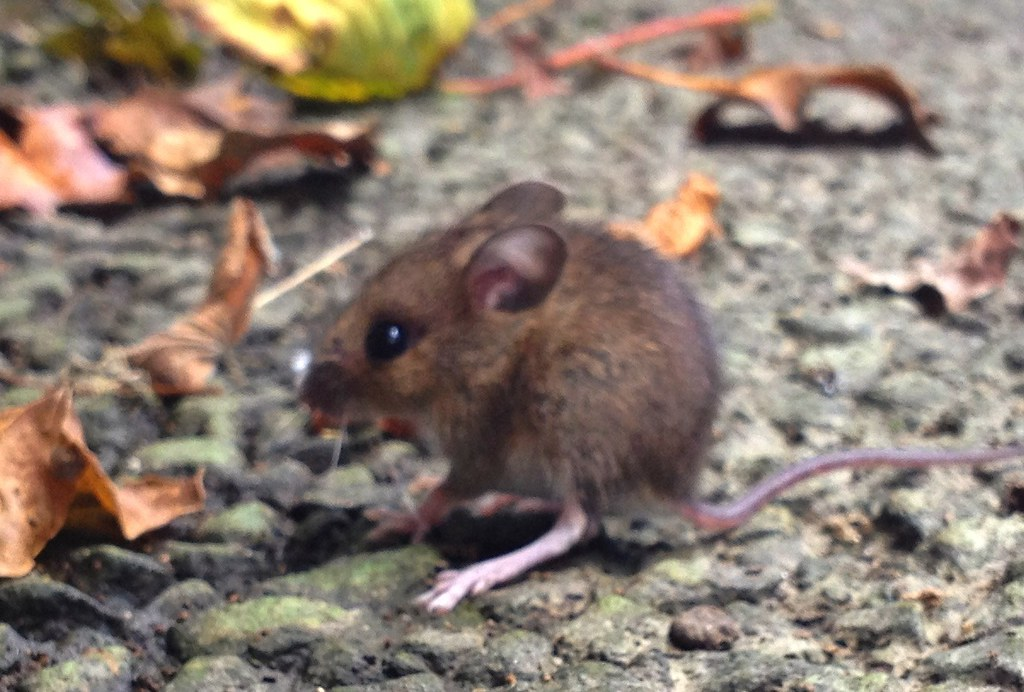 Baby Field Mouse Eyes Closed