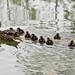baby-ducks_#362