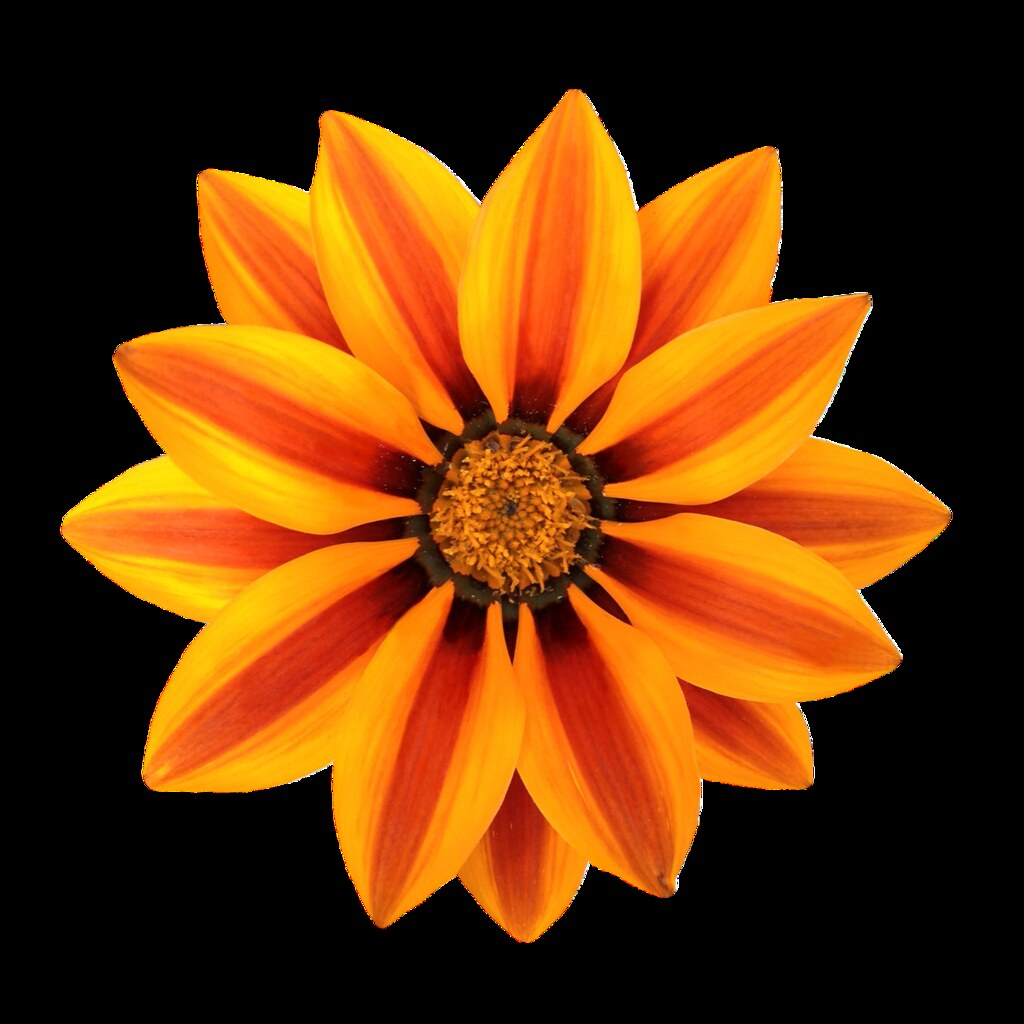 Gazania Flower Magnificence of expression file At