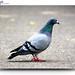 304/365 - Pigeon
