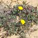 Malmequer-amarelo (Calendula suffruticosa subsp. algarbiensis)