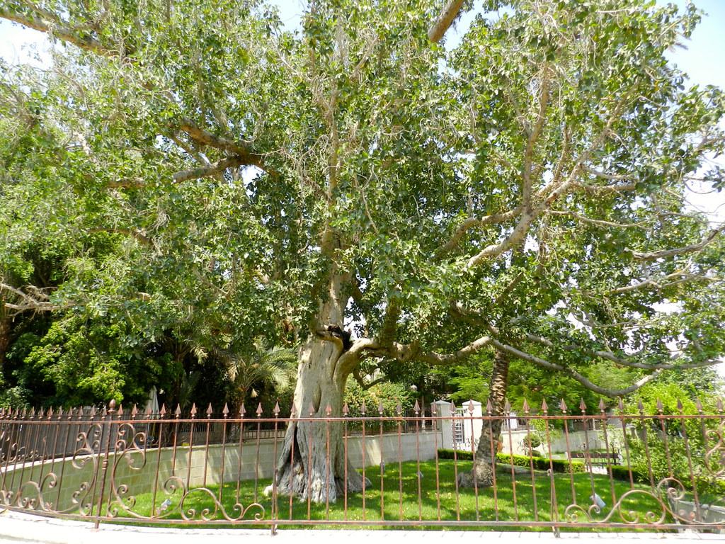 Sycamore tree (Zacchae...