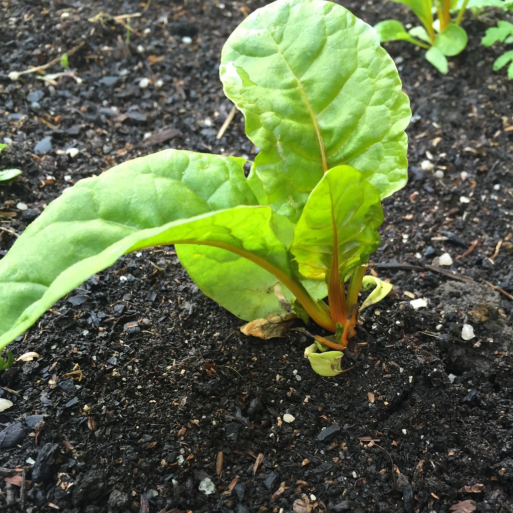 yellow-stalked chard, slowly growing up