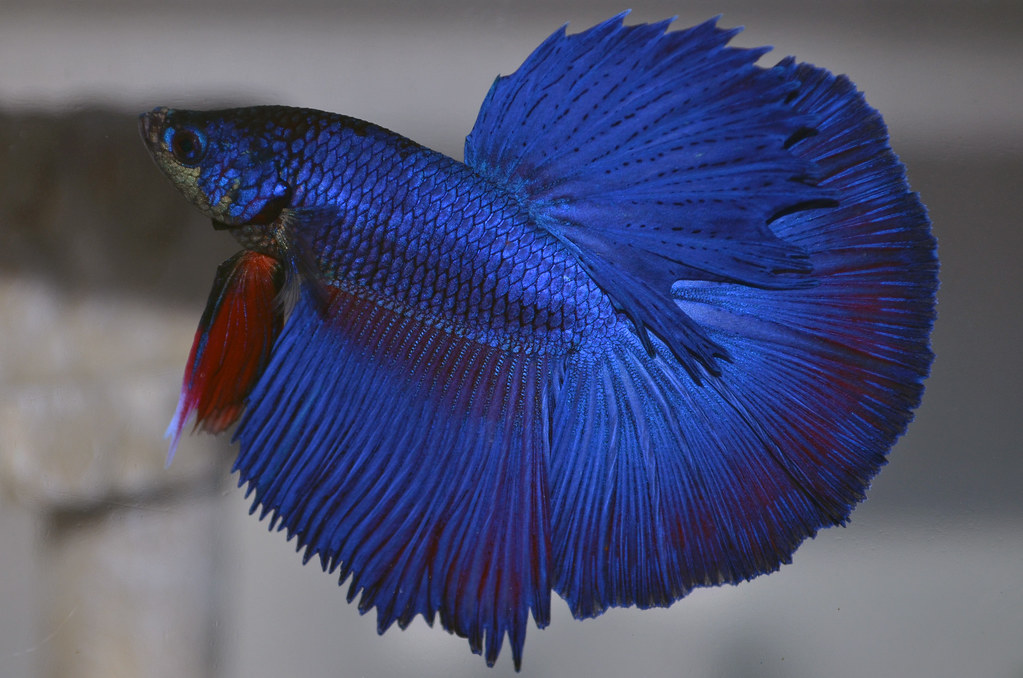 Halfmoon betta | bettaaddict | Flickr