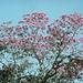 A scene-Tabebuia Ipe or Pink Trumpet tree 1
