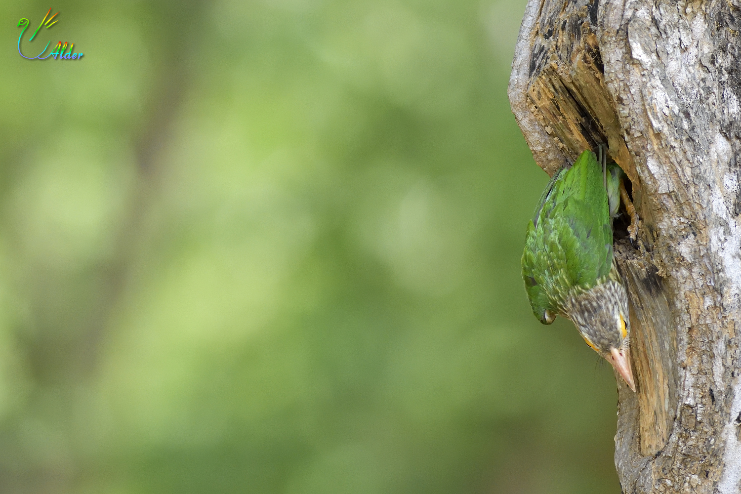 Lineated_Barbet_6885