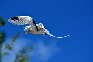 White-tailed Tropicbird | by nike2384