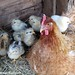 Lokey and her chicks 3 - FarmgirlFare.com