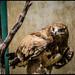 #wildlife Steppe Eagle