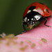 The hungry ladybird #2